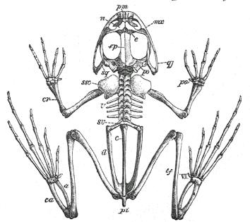 FrogSkel