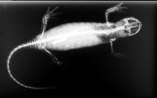 SalamanderSkel