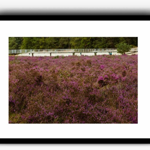 grote lavendelbloemen veld poster