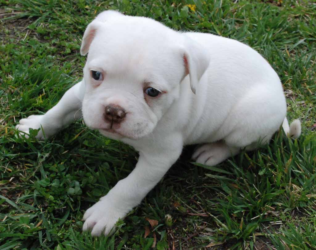 Cute American Hd Dogs Free Download Hd Wallpapers