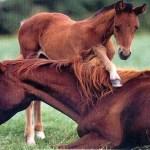 Horse HD Wallpaper Picture-Dekstop-Background