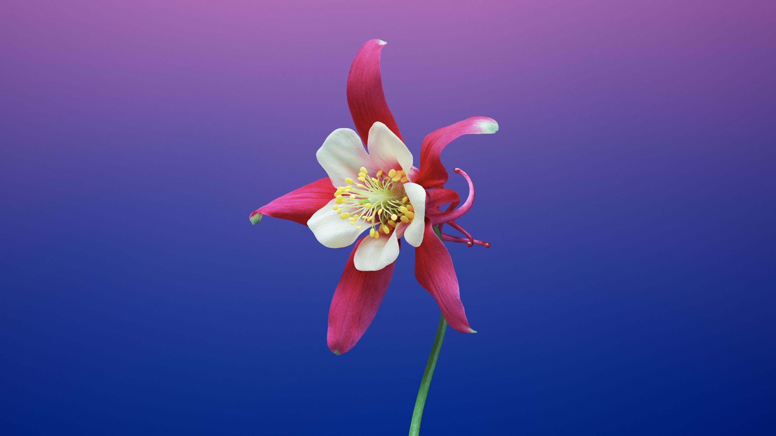 Aquilegia Flower 4k Wallpaper Gradient Background Ios 11 Stock Hd Flowers 774