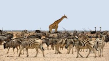 zebra-1170177_1920-pixabay