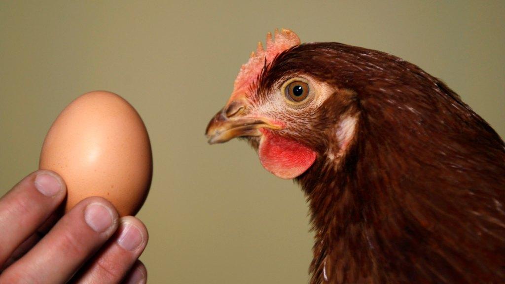 csirkék abbahagyták a rohanást)