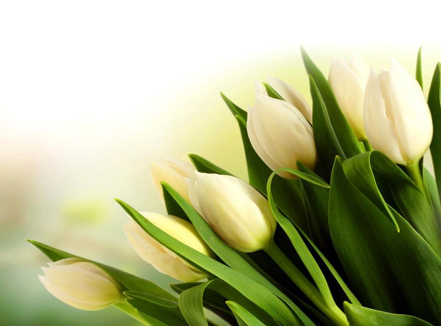 White tulip wallpaper