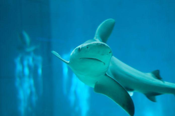 Hai schwimmt im Wasser