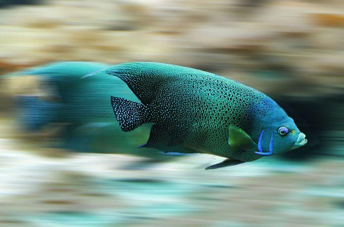 Fisch, der sehr schnell schwimmt