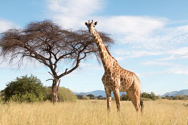 Eine große Giraffe in einem trockenen Gebiet