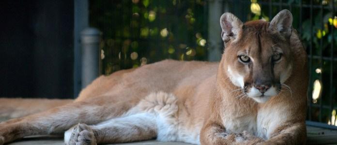Wildkatze liegt und schaut in fie Kamera