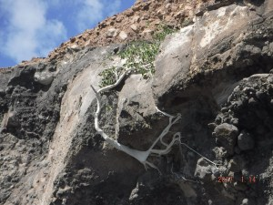 cp-tree-clinging-to-rock