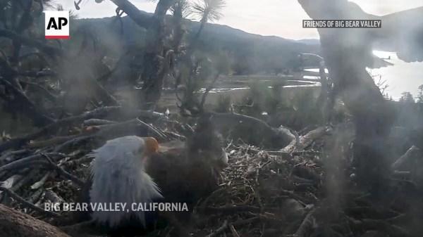 Bald Eagles leave egg on live video