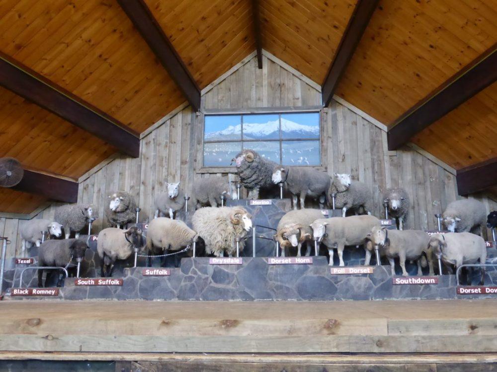 Agrodome sheep show