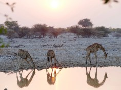 Okuakuejo watering hole giraffes