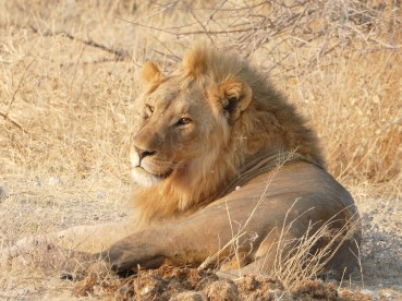 Lion Etosha National Park