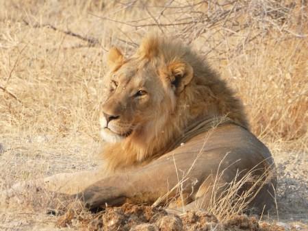 Lion Etosha National Park