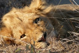 Resting lion in the Timbavati