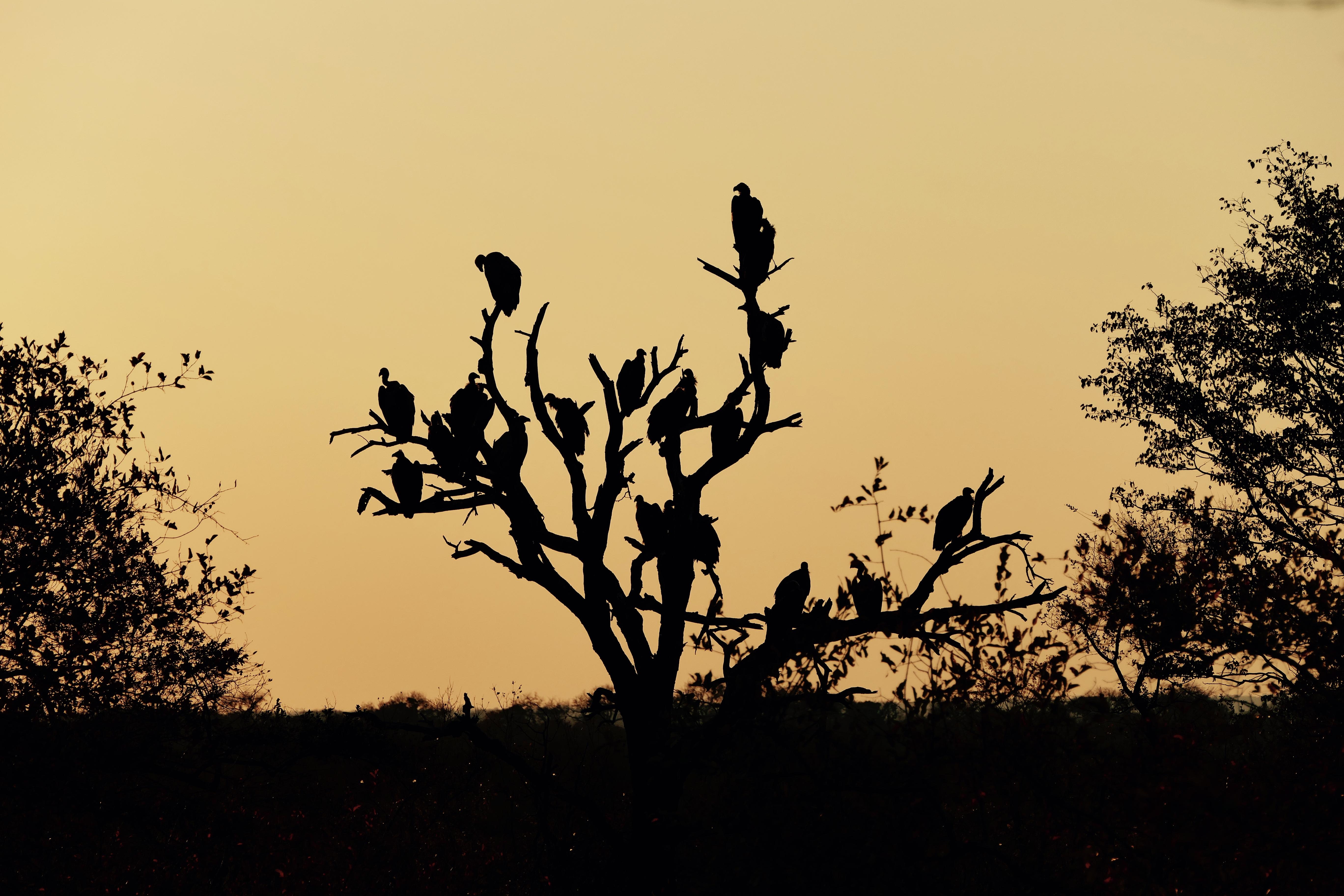 Buzzard tree Timbavati sunset