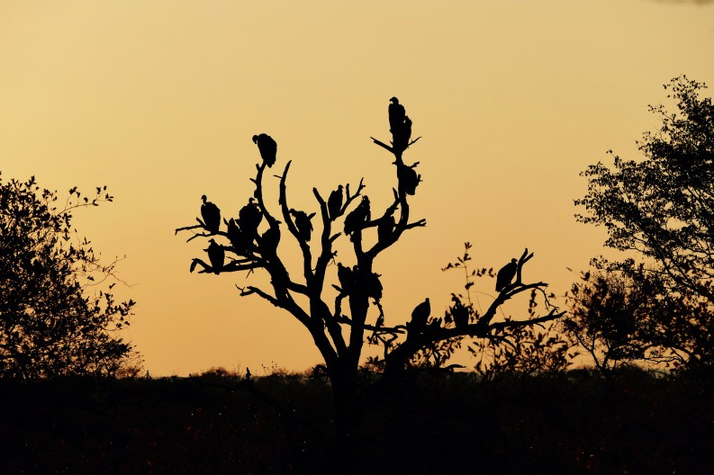 Buzzard tree Timbavati sunset