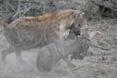 Hyena carrying elephant leg