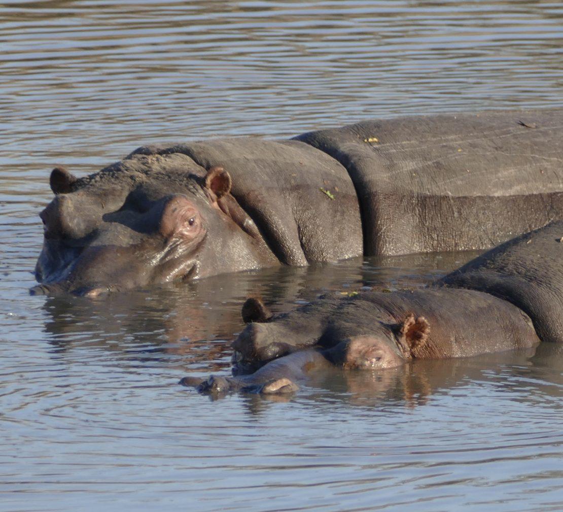 Hippos in the Timbavati