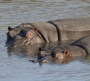 Hippos in the Timbavati