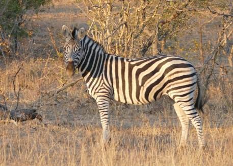 zebra, safari