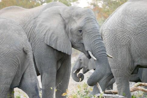 Elephants in the Timbavati