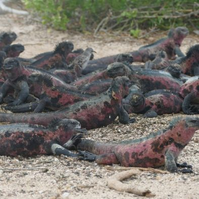 Mess of marine iguanas