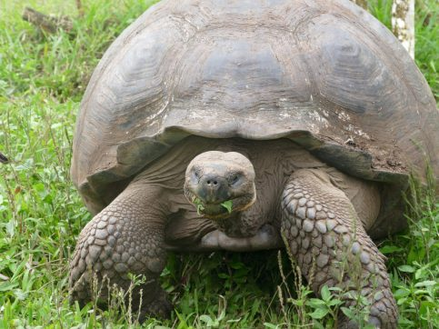Giant tortoise Galapagos