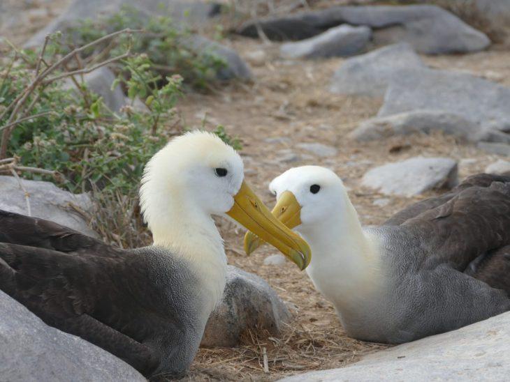 Waved albatross on Espanola