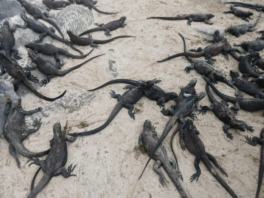 Mess of Galapagos marine iguanas