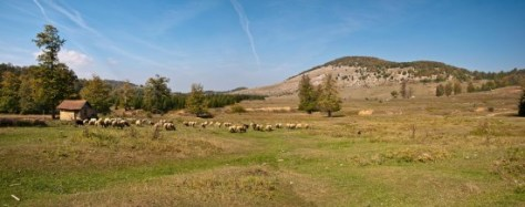 Grazing sheep on Rečke