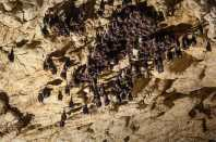 Bats in the Ceremošnja cave