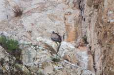 A griffon vulture nesting