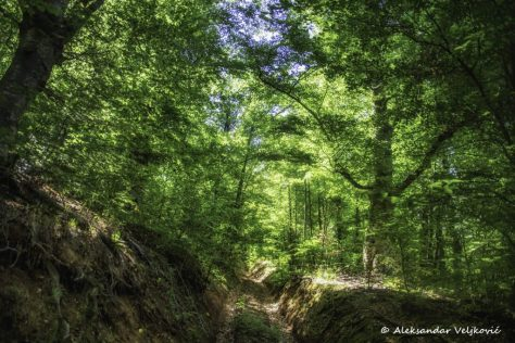 A typical, jungle like forest of eastern Serbia