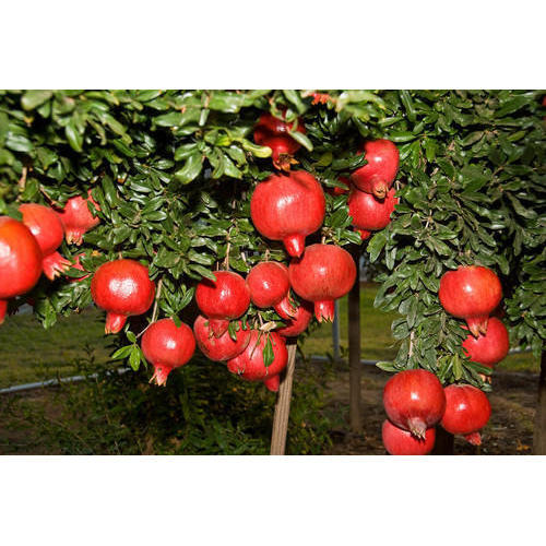 Image result for tomato and anar