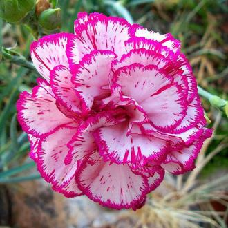 Pink And White Carnation Flower  Carnation Flowers   Rathna     Pink And White Carnation Flower