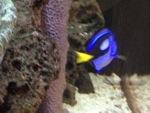 blue tang... just keep swimming