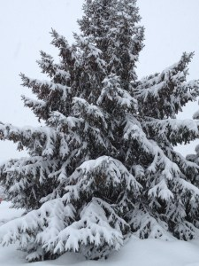 BEAUTIFUL EVERGREENS COVERED IN SNOW AGAIN!