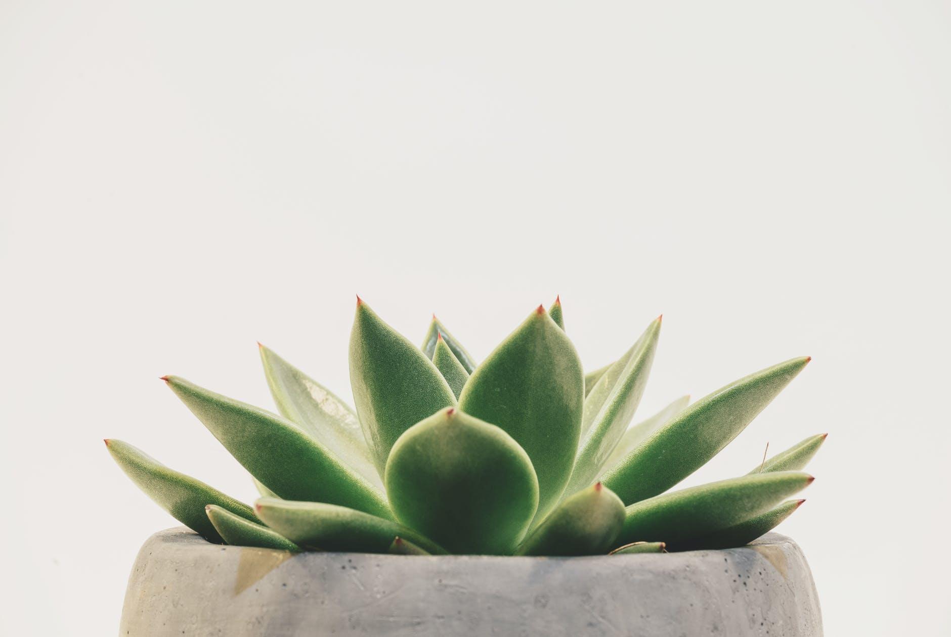green succulent plant plante verte plante d'intérieur Sojungle decoration