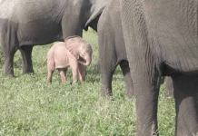 Here is How a Rare Pink Elephant was Caught On Camera