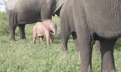 Here is How a Rare Pink Elephant was Caught On Camera Here is How a Rare Pink Elephant was Caught On Camera - images 2 5 - Here is How a Rare Pink Elephant was Caught On Camera