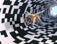 Abb. 6 Im Tunnelexperiment wird erforscht, wie Honigbienen Entfernungen messen. Der wahrgenommene optische Fluss wird als Distanzangaben beim Bienentanz kommuniziert. Honigbienen, die von einem Flug zum Stock zurückkehren, berichten ihren Artgenossen mit dem so genannten Schwänzeltanz über entdeckte Futterquellen. ©Marco Kleinhenz, BEEgroup