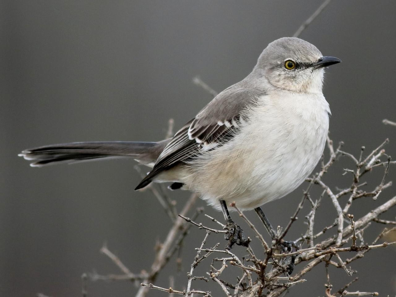 Arkansas State Bird Mockingbird 50states