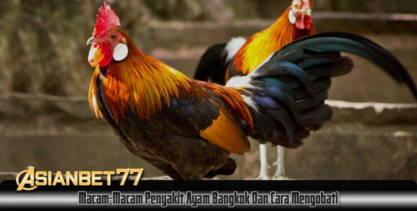 Macam-Macam Penyakit Ayam Bangkok Dan Cara Mengobati