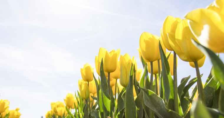 Tulip Festival 2021 Will Be Virtual
