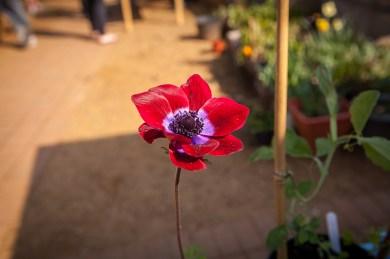 2014 KHWG Members day- anemones