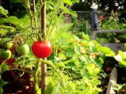 Plot 51 Tomato