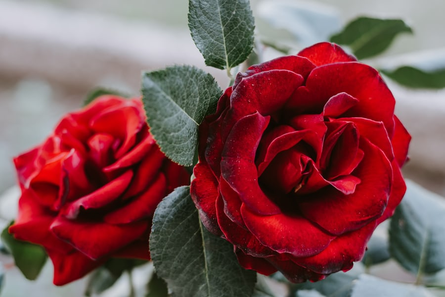 2 red roses depicting love, is simple yet everything.