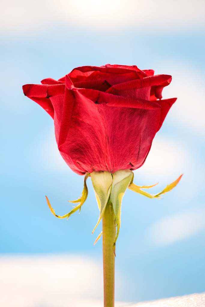 a picture of a rose symbolizing real love, broken at Heartbreak Hotel.